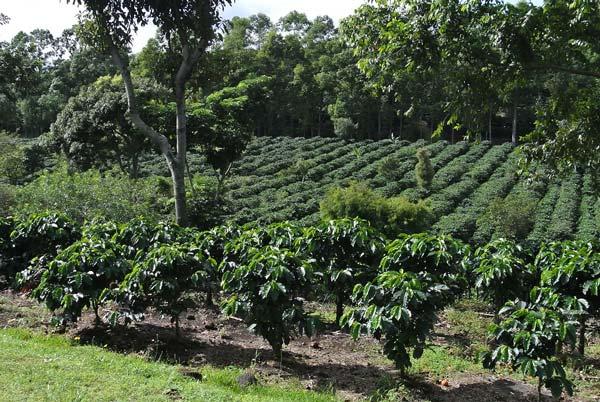 caféier arbre qui donne les grains de cafés robusta ou arabica