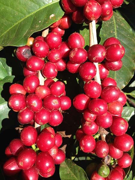 Fruits caféier costa rica café arabica