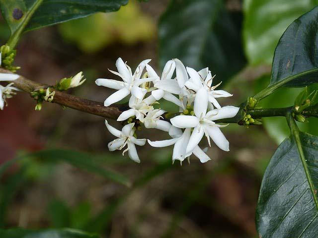 Fleur de café du COSTA-RICA caféier