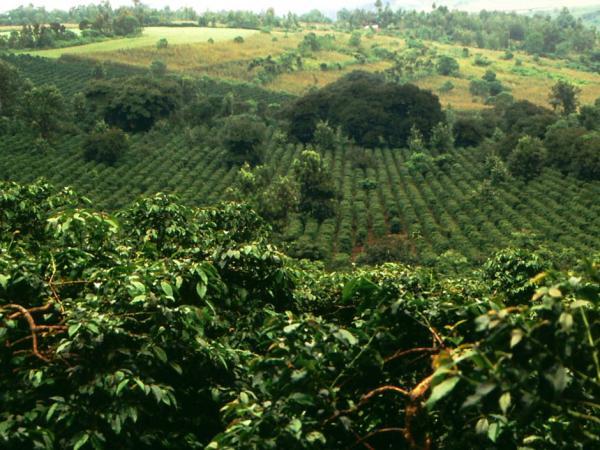 culture de café afrique kenya maasai caféier