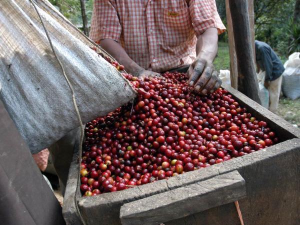 triage des grains de café après séchage calibrage kenya afrique