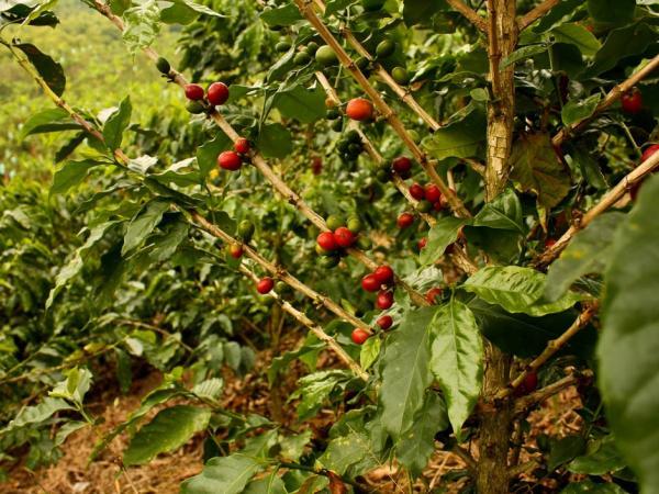 fruit de café fève arbre caféier kenya maasai culture africaine