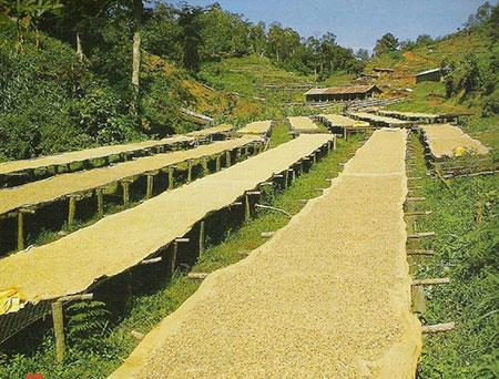 séchage des grains de café en afrique kenya massai
