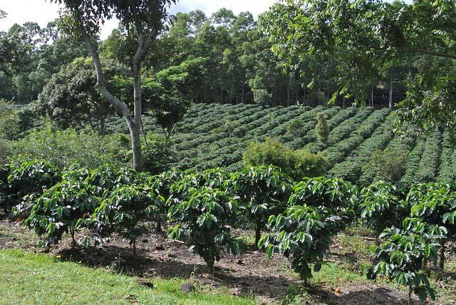 Plantation de café costa rica caféiers